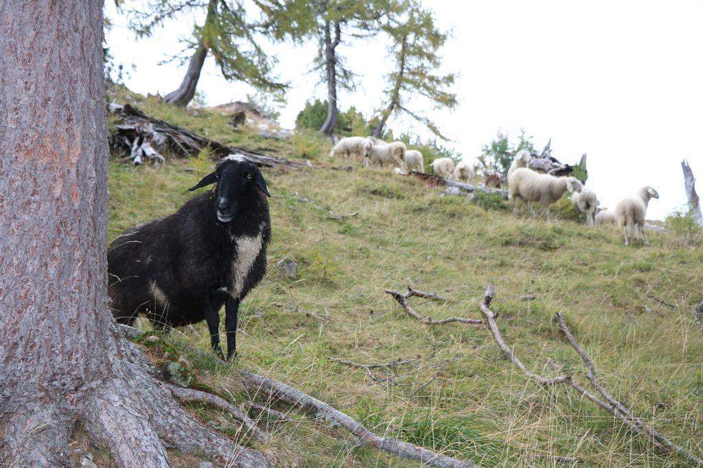 Crna ovca sa Slemenove špice