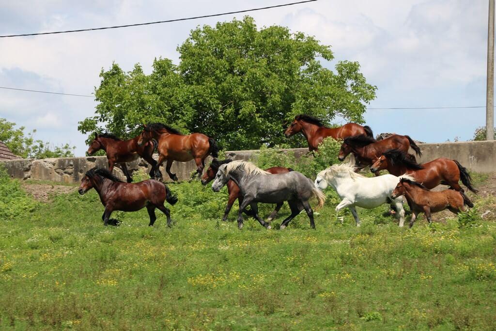 Posavski konji u trku