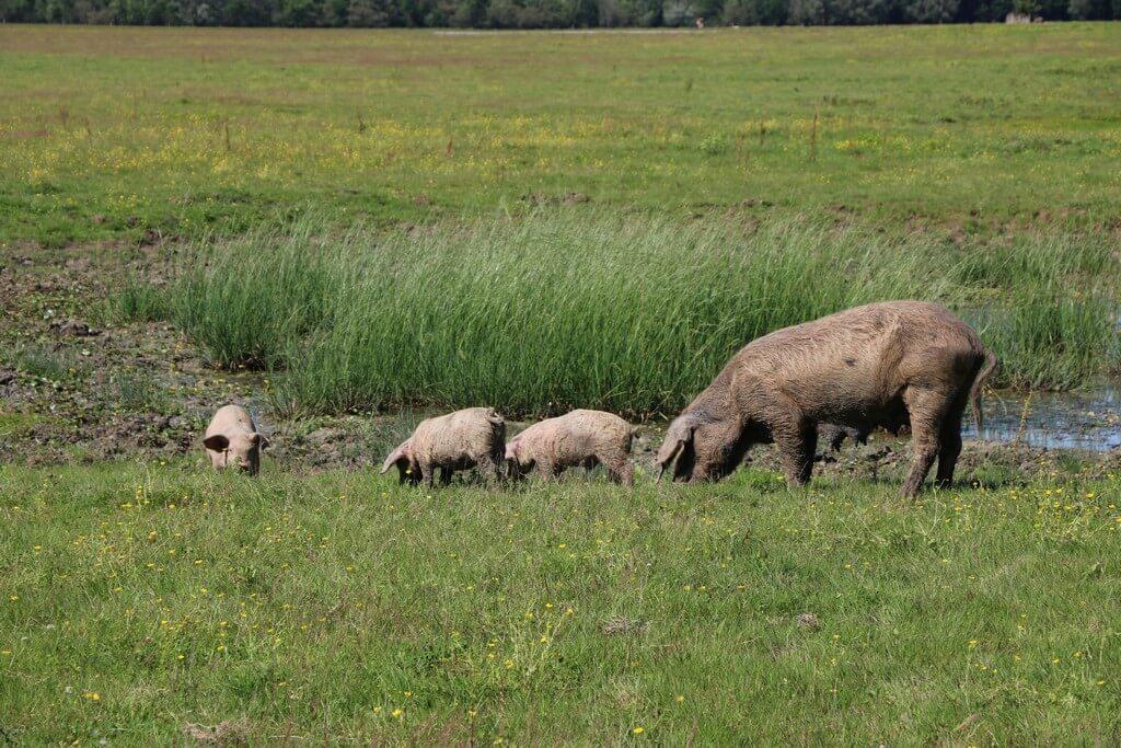 Svinje. naplavni pašnjak, Lonjsko polje