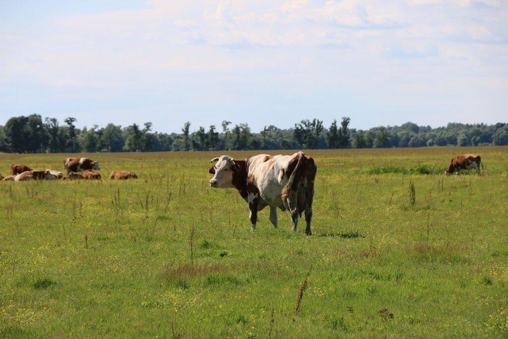 Krave. naplavni pašnjak, Lonjsko polje