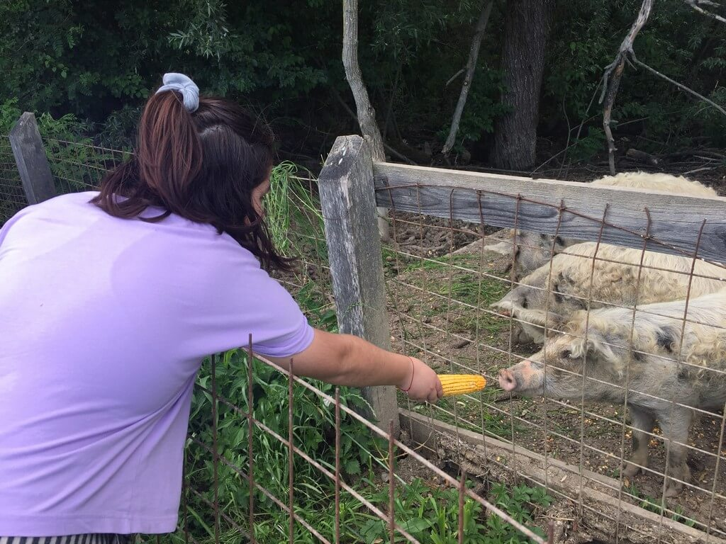 Turopoljska svinja u Lonjskom polju